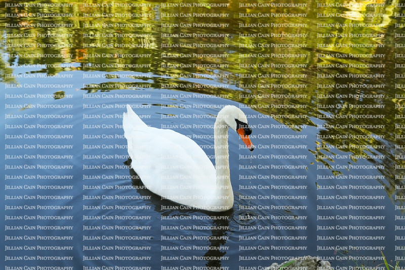 A beautiful white swan swimming in a natural pond