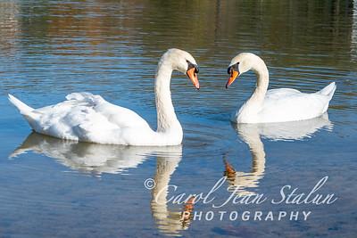 Swans 14