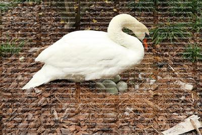 Muet swan incubating her eggs