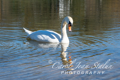Swans 13