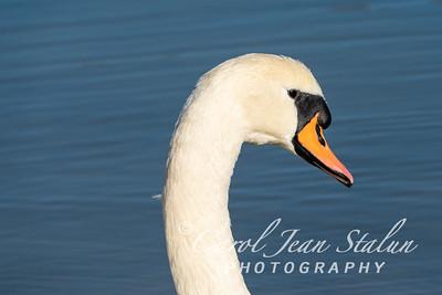 Swans 16