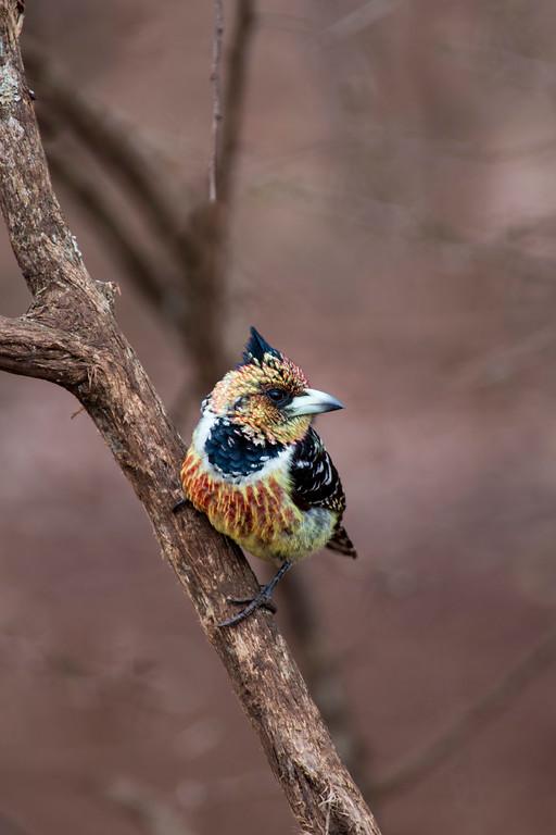 swaziland, hlane national park, animals, birds, crested barbet