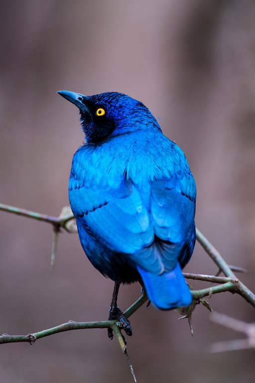 swaziland, hlane national park, animals, birds, greater blue-eared glossy-starling