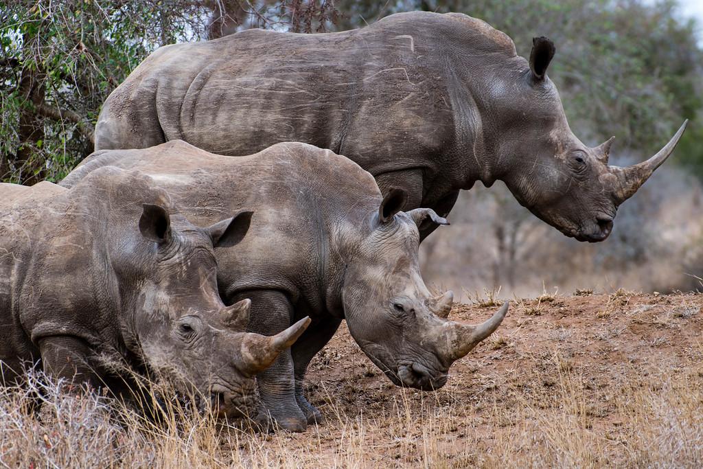 swaziland, hlane national park, animals, mammals, ungulates, rhinoceros