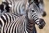 swaziland, mlilwane wildlife sanctuary, animals, mammals, ungulates, zebra