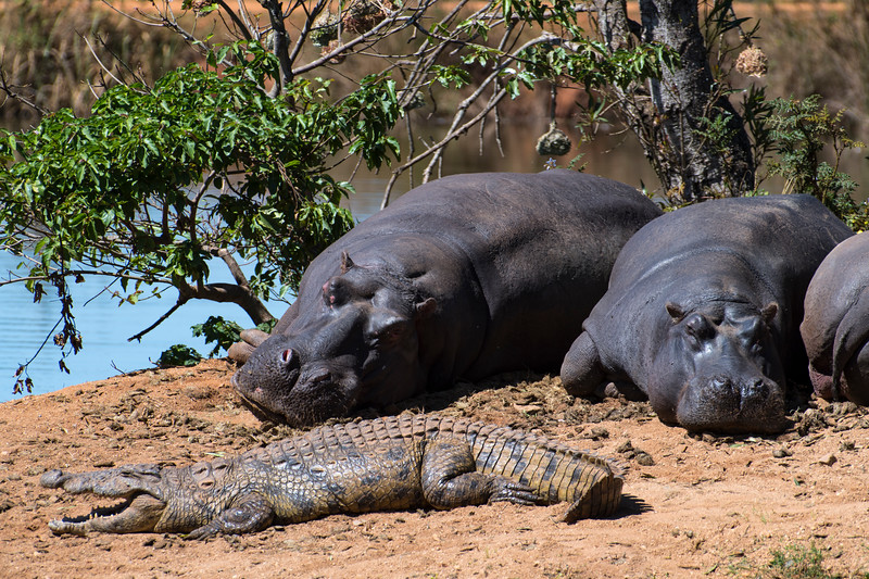 swaziland, mlilwane wildlife sanctuary, animals, mammals, ungulates, hippopotamus, reptiles, predators, crocodiles