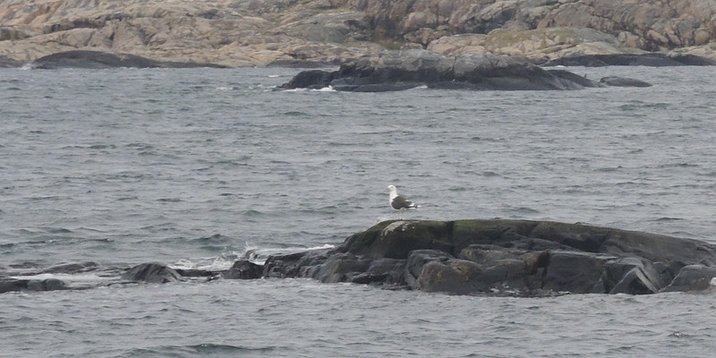 This sea gull reminds me of one of my favorite Swedish Aquavit drinking songs.