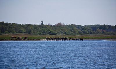 sweden-cows