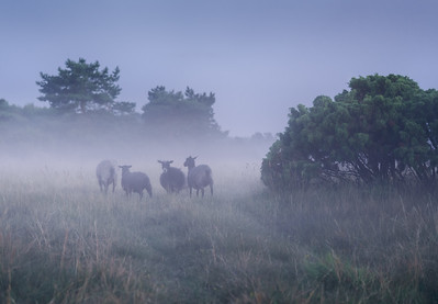 Fog in the Sheep Pasture