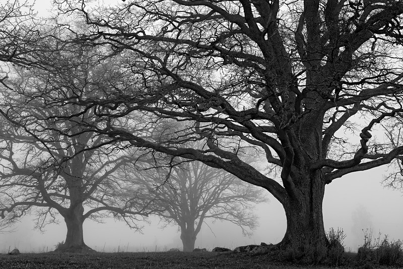 The Old Oak Trees