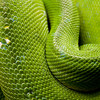 Green mamba at Skansen