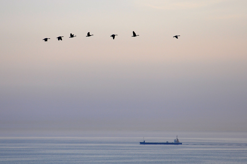 Geese flying over the Baltic Sea. 2010.