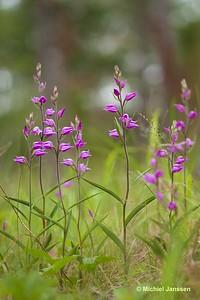 Cephalanthera rubra - Rood bosvogeltje - Red helleborine - Röd skogslilja