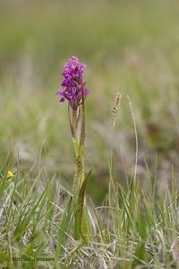 Dactylorhiza cruenta - Flecked Marsh-orchid - Blodnycklar