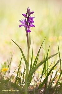 Dactylorhiza lapponica? - Lapland marsh-orchid - Lappnycklar