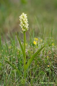 Dactylorhiza ochroleuca - Fen marsh-orchid - Vaxnycklar