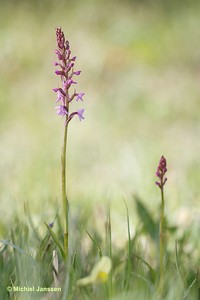Gymnadenia conopsea - Grote muggenorchis - Fragrant orchid - Brudsporre