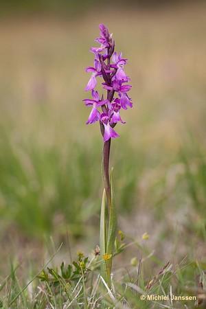 Anacamptis palustris - Moerasorchis - Marsh orchid - Kärrnycklar