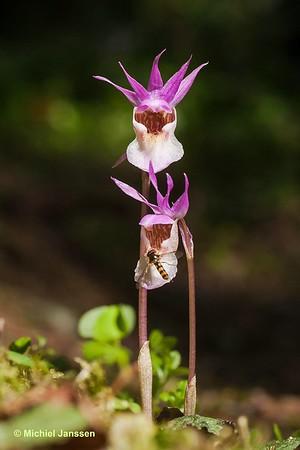 Calypso bulbosa - Bosnimf - Calypso orchid / Fairy slipper - Norna