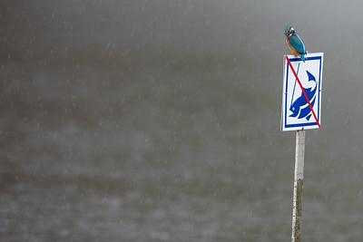 Kungsfiskaren (en ung hane) tjuvfiskar i regnet