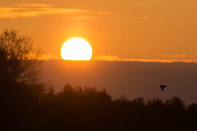 fisktärna i soluppgången
