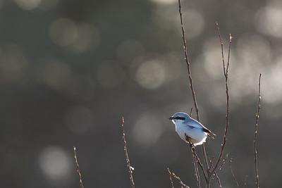 Varfågel, utan stjärt