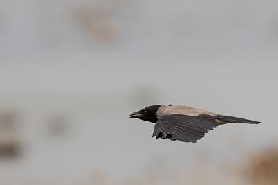 kråka