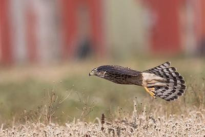duvhök, ungfågel med rejäla klor