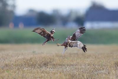 Två äldre bruna kärrhökar. Den vänstra, en 2K hanne anföll den äldre hannen som fick hoppa upp från marken och försvara sig så gott han kunde. 2K-hannen är färgmärkt, två projekt aktuella, ett i Lettland och ett i Israel.