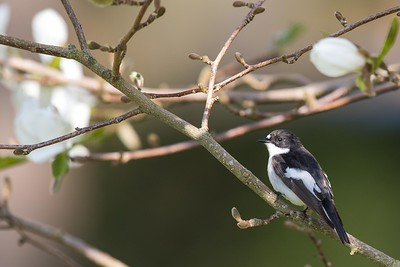 svartvit flugsnappare, hane i magnolia