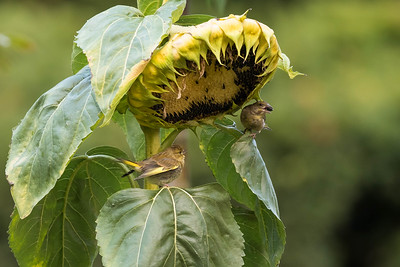grönfinkhonan skalar solrosfrön åt sin unge