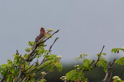 rosenfink, hane