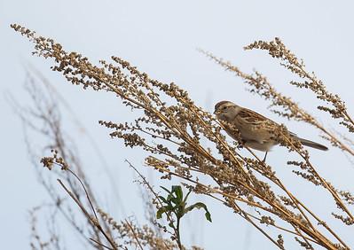 tundrasparv, American Tree Sparrow