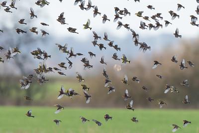 vinterhämplingar och grönfinkar