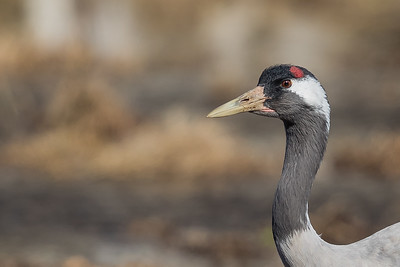 Tranor till vadare / Cranes to Shorebirds