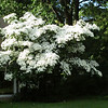 Prettiest Dogwood I have seen.