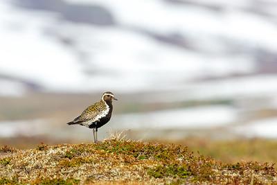 Golden plover , Ljungpipare