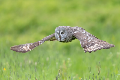 Great grey owl , Lappuggla