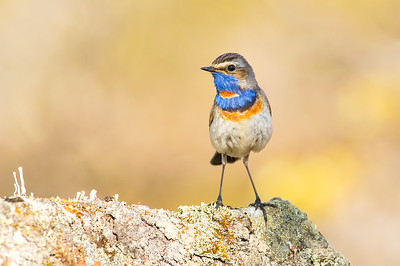 Bluethroat , Blåhake