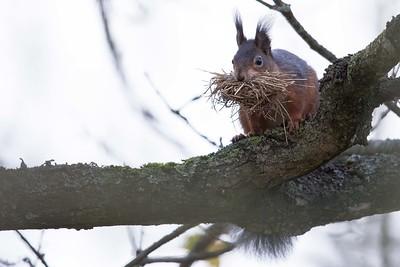 ekorren inreder sitt vinterbo