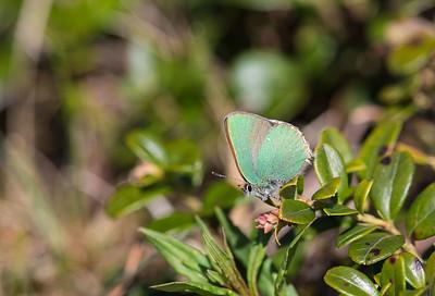 grönsnabbvinge
