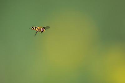 blomfluga