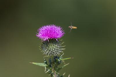flyttblomfluga och vägtistel