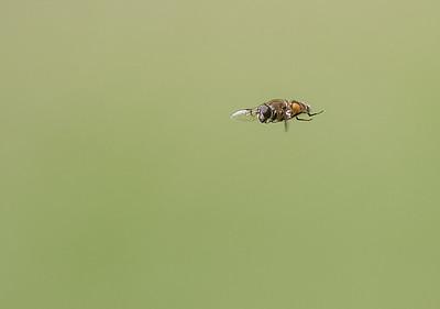 slammfluga