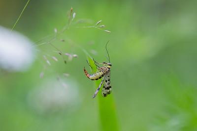 vanlig skorpionslända, hona