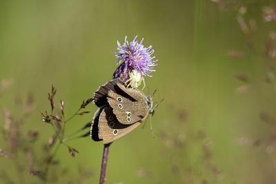 blomkrabbspindel med byte, en luktgräsfjäril