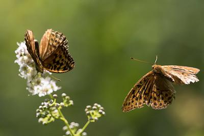 silverstreckade pärlemorfjärilar, Tåssjö