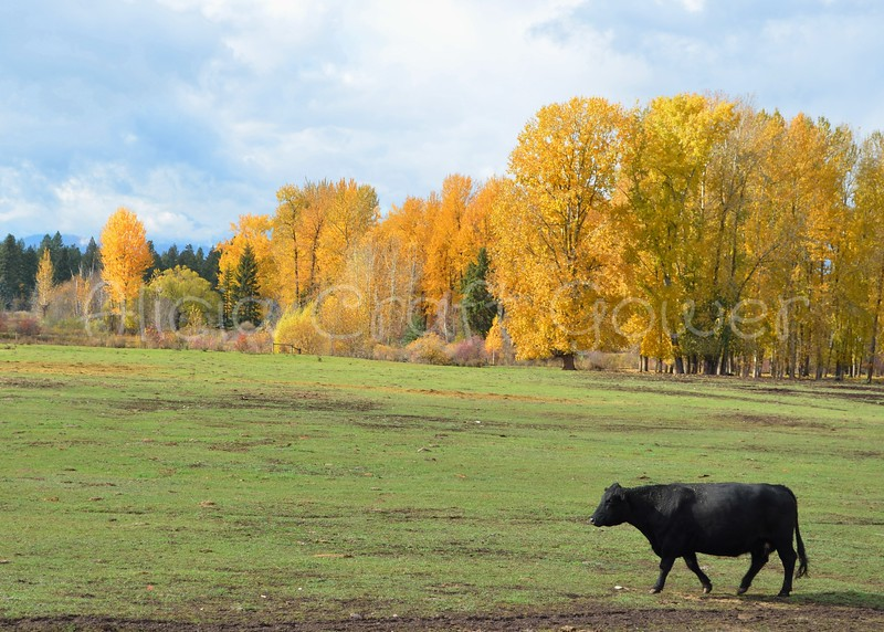 Black Cow Along the Flathead River