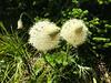 Bear Grass -3