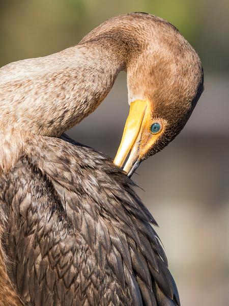 Double-crested Cormorant Preening